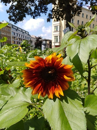 sunflower with a bee sonnenblume neuköln kotti berlin kunst andré brümmer arttrado fine art prints